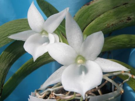 ランと観葉植物: 0401 Angraecum...