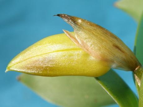 Coeluniflora20161216blg