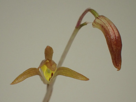 Calanthelaxiflora20170318kyblg
