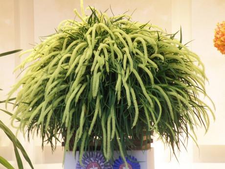 Oberoniadissitiflora20190209blg