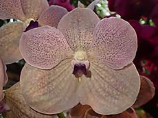Vsomsricoerulea20190209blg